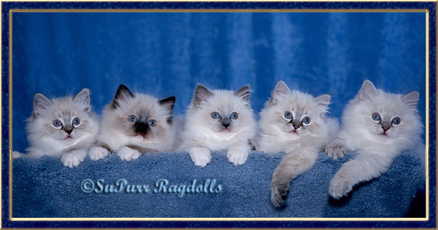 Detroit MI Supurr Ragdoll Breeder cats kittens
