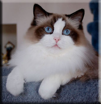 CH SuPurr Ragdolls Splendor: Seal Bi-Color  Photo by Sue Shorey