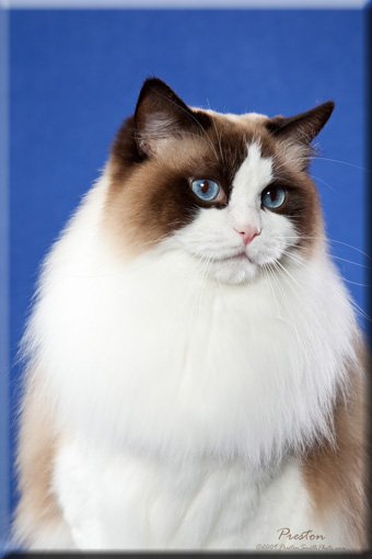 Supurr Ragdoll Cats Kittens Experienced Flint Mi Breeder