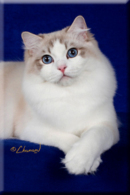 Indiana area Ragdoll Cat Breeder Supurr Ragdoll Kittens